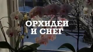 ОРХИДЕЯ. Цветущие ОРХИДЕИ  ФАЛЕНОПСИС и СНЕГ.