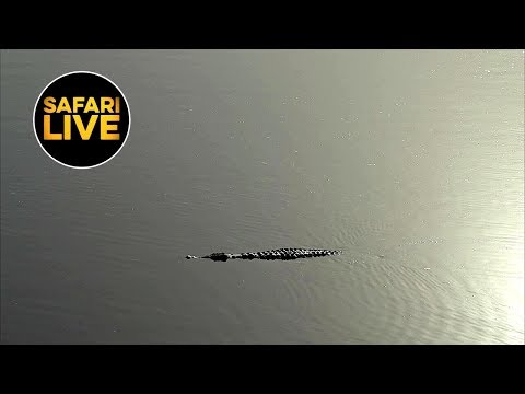 safariLIVE - Sunrise Safari - August 21, 2019