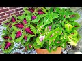 Jim's Wholiest of Coleus- Pointers on Pruning potted Wintered Coleus,general care and rooting Coleus