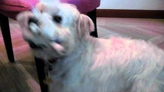 Singapore Dog Hotel - Westie Touring His New Temporary Home *call 8186 5999*.avi