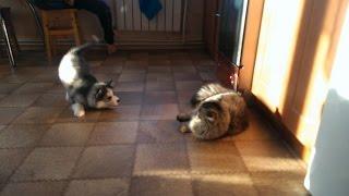 Хаски Гоха и кошка
