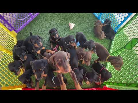 Doberman puppy Litter