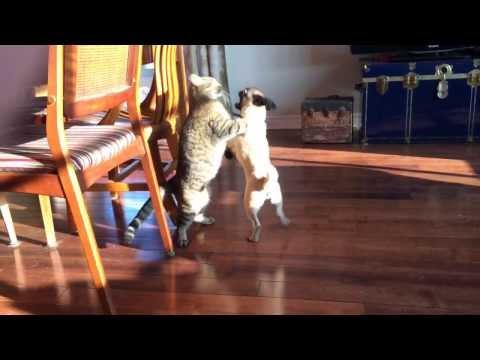 Pug VS cat fight : who will win?