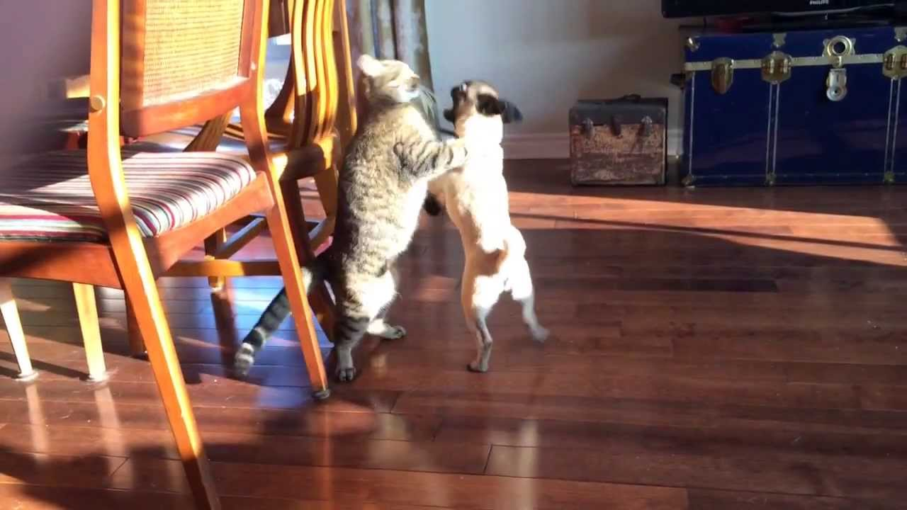 Pug Vs Cat Fight Who Will Win Youtube