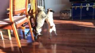 Pug VS cat fight : who will win?
