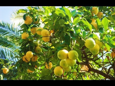 Awesome organic fruit & citrus trees in Los Angeles