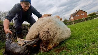 lambing-live-not-for-the-faint-hearted