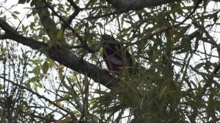 Crimson Rosella calling