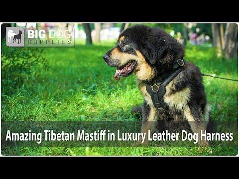 Amazing Big Tibetan Mastiff in Soft Padded Harness