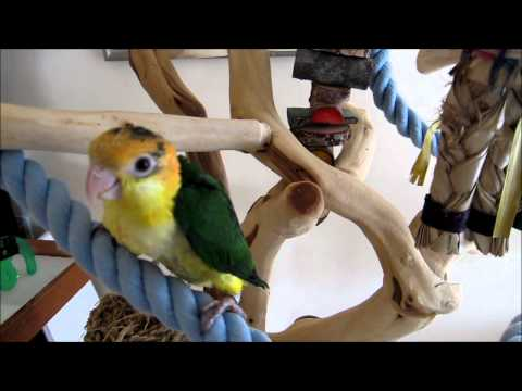 White Belied Caiques 12 Weeks old