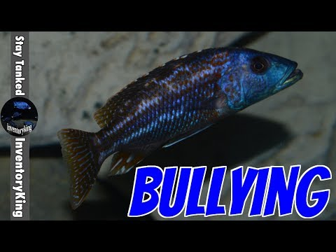 How To Overcome A Bully , This Fish Is Bullying Other Fish