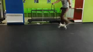 Toy Fox terrier on first training for dog shows