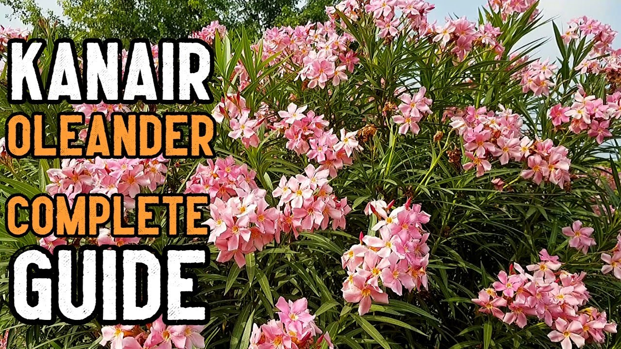 Oleander Nerium Oleander Plant Care Growing Tips And Complete Information In Urdu And Hindi Youtube