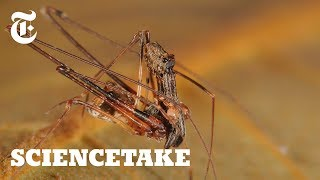 Pelican Spiders, Ancient Assassins That Eat Their Own Kind | ScienceTake