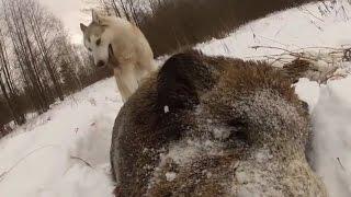 WILD BOAR HUNTING IN  WINTER.  охота на кабана зимой.