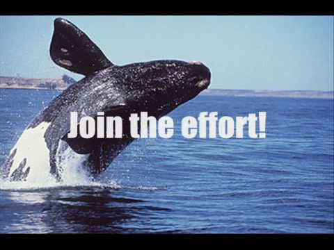 The North Atlantic Right-Whale (bio project)
