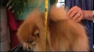 Dogs 101 - Pomeranian / Spitz Alemão, Legendado Pt Br