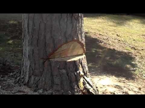 Cutting Down A Big Pine Tree