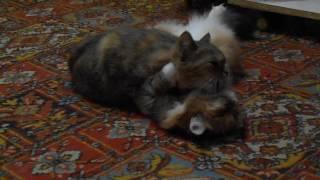 Кошка Ромашка намывает шейку Подушке!