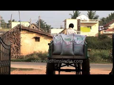 Transporting fertilizer on a bullock cart in Bangalore