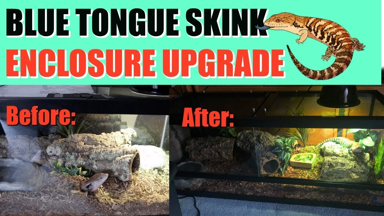 upgrading-my-blue-tongue-skink-s-enclosure-70-gallons-and-500-later