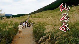 HAKONE【Autumn colors】Sengokuhara Susuki (Pampas Grass) Fields.#4K #仙石原 #ススキ