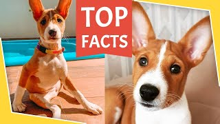 BASENJI  Top Dog Facts 101  What You Need To Know Before Getting A Basenji Puppy