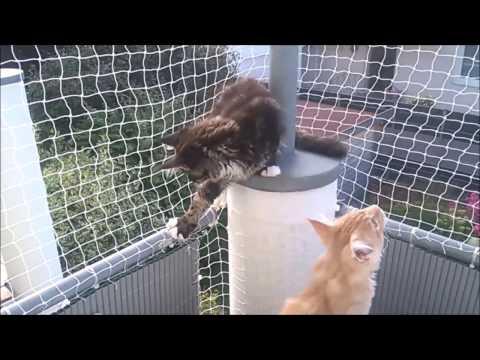 Maine Coon Camillo & Gizmo: Katzennetz wird getestet...