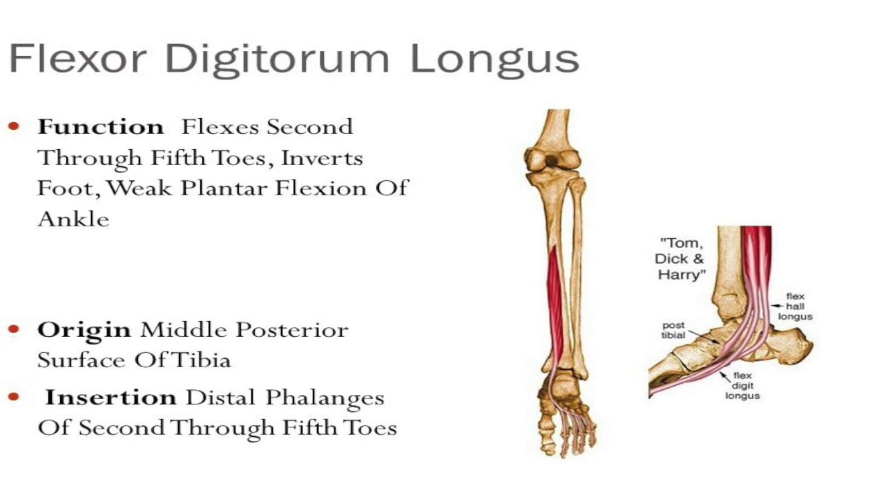 flexor digitorum longus muscle injury & rehab - youtube, Cephalic Vein