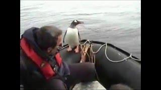 Пингвин прыгает в лодку к людям, спасаясь от китов-убийц.