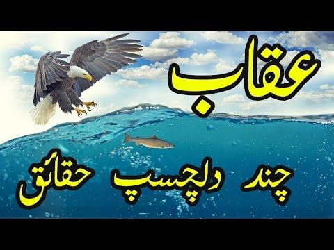 Eagle Facts Urdu Hindi Uqaab Ke Bare Mein Dilchasp Haqaiq