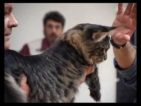 Speciale Maine Coon Club - Salsomaggiore Terme