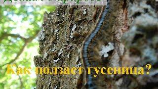 О насекомых дошкольникам ~ Как ползает гусеница?(О насекомых дошкольникам ~ Как ползает гусеница? Ваш малыш уже видел настоящую живую гусеницу? Какого она..., 2014-05-28T11:15:01.000Z)