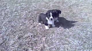 Cardigan Welsh Corgi Black And White Females With Tan Points.  Tia And Isabell