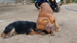 German Shepherd Puppy Playing with French Mastiff Dog Lovers Enjoy this Video by Doggyz World Kennel