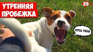 Утренняя пробежка, что то пошло не так. Собака убежала. Jack Russell Terrier. Локи БОБО. 039 серия.