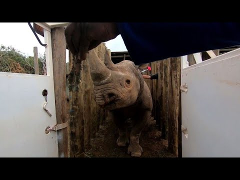 Endangered black rhinos flown from S. Africa to Chad