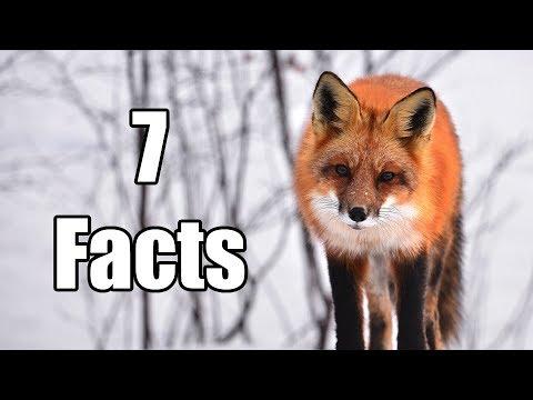 what genus is a fox
