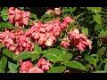 INILAH!!  9 Cara Menanam Bunga Nusa Indah dengan Stek Batang