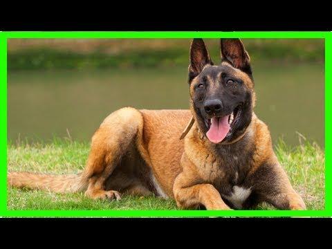 Malinois: Training und Erziehung für den Schäferhund