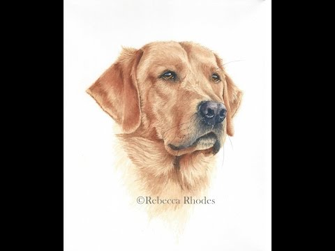 How to Paint a Realistic Retriever Dog in Watercolor