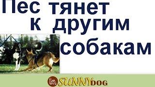 Пес тянет к другим собакм и агрессия на поводке