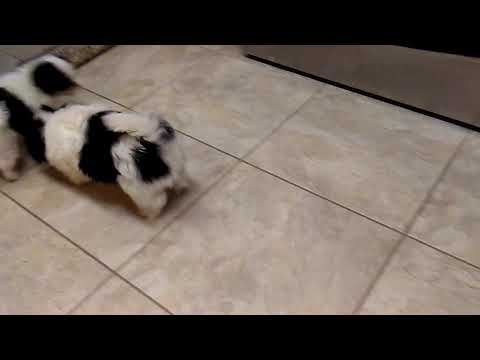 Last Japanese Chin Boy