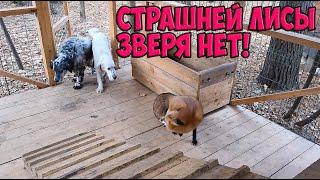 ЛИ СЯО. Алиса - Лиса. Собаки решили, что могут просто зайти домой к лисе и начать там хозяйничать.