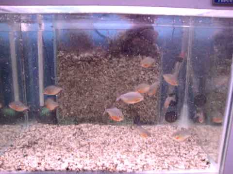 Red Belly Piranha Fish Tank Fish Pet Planet Red Belly
