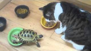 Repeat youtube video Small turtle attacks a fluffy cat