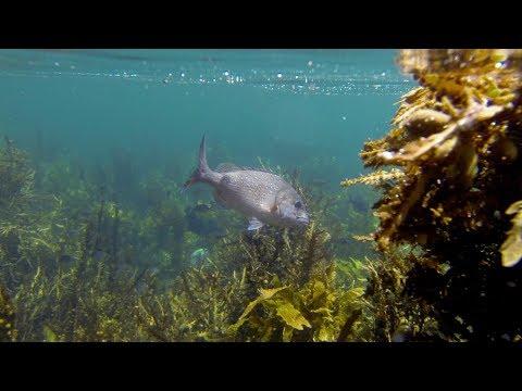 Motiti Rock Fishing And Netting Piper (Season 1 Ep 2)