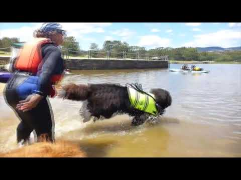 My Newfoundland Dog: Honeybun @ Water rescue training