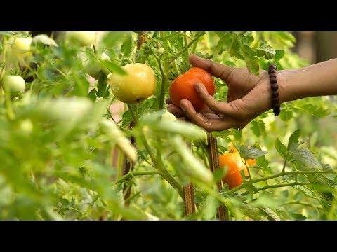 Organic Farming Harvest @ Amrita's Coimbatore Campus