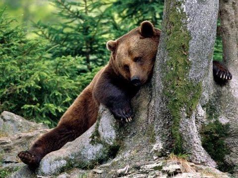 видео приколы про медведей смотреть бесплатно